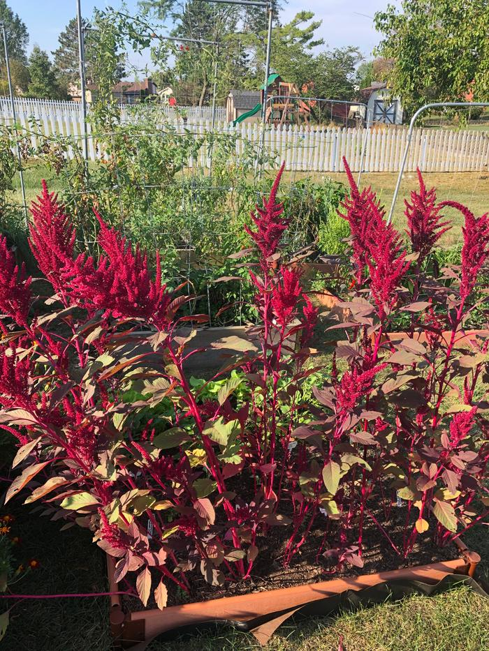 red amaranth seed heads