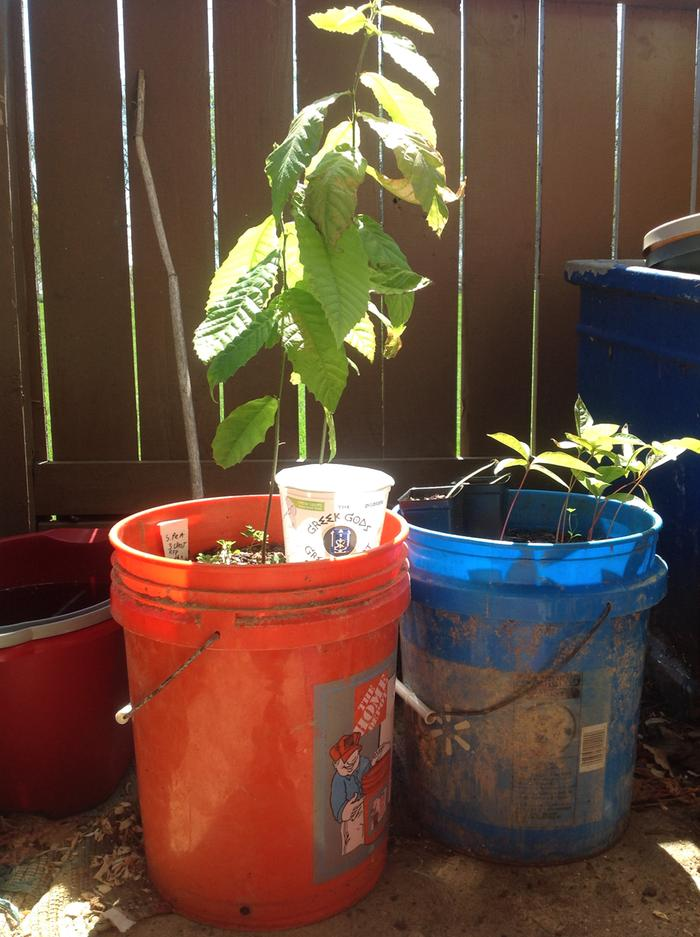 two chestnuts I seeded into 5gallon buckets, they are by far the largest!!