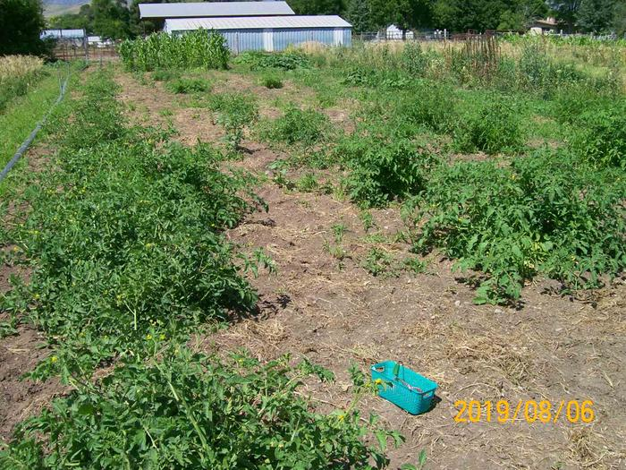 The promiscuous tomato patch