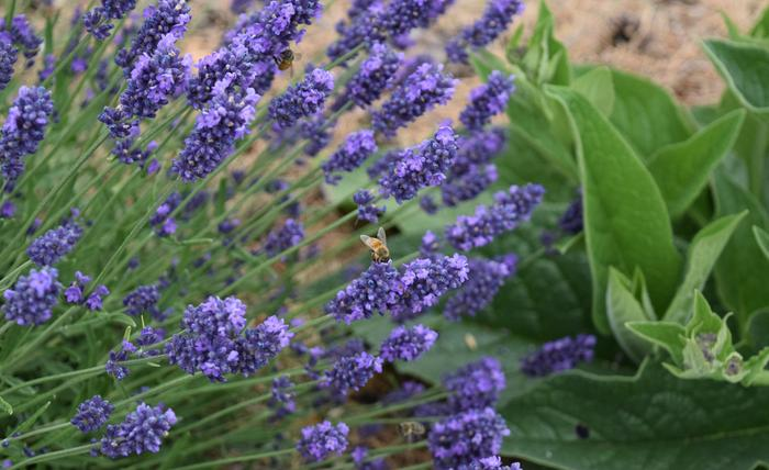 bees are really enjoying one of the lavender plants