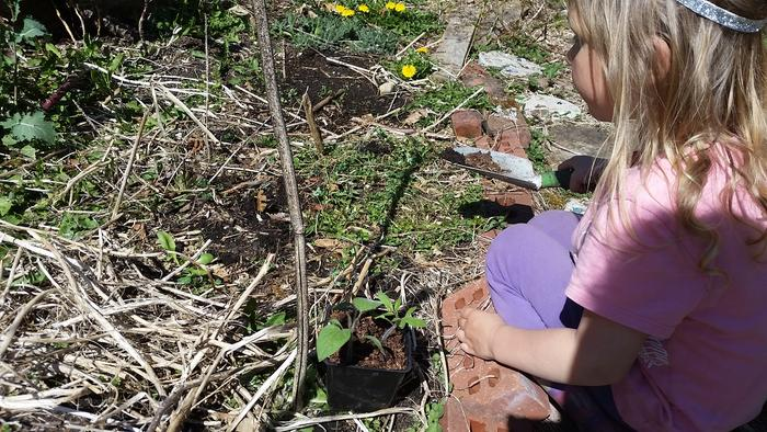 My daughter planting her tomatoes--what will they be?