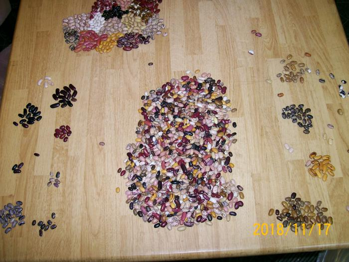 Cleaning bean seeds to remove rocks and broken seeds, and saving sorted types to plant next year.