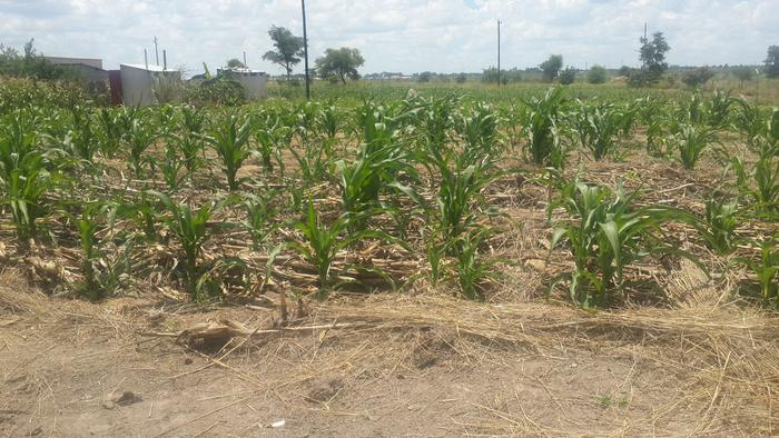 healthier though wilted maize