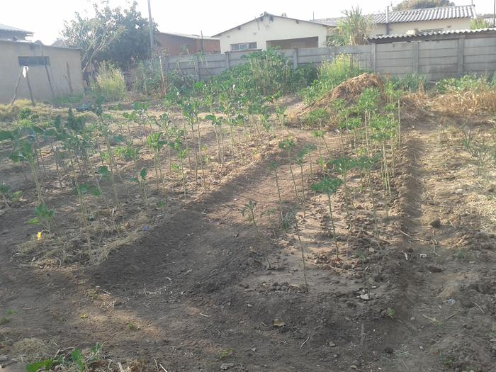 another space to watch garden shared by three families (already organic matter being piled not burnt, and a variety of vegetables starting)