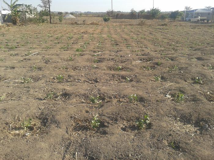 Planted cowpeas