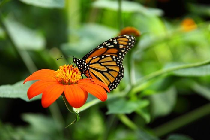 Monarch-on-Mexican-Sunflower