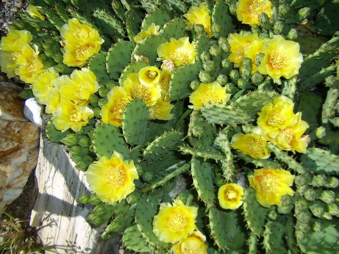 [Thumbnail for opuntia-humifusa-flowers.jpg]