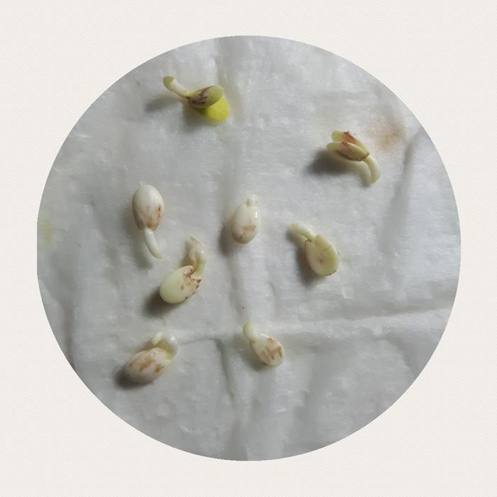 Pear seeds look like apple seeds