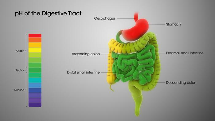 pH of the digestive tract