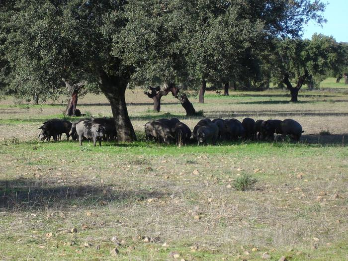 Dehesa pigs, Extremadura, Spain by comakut, WikiMedia.org NOTE THE GREENER GRASS UNDER THE TREE!