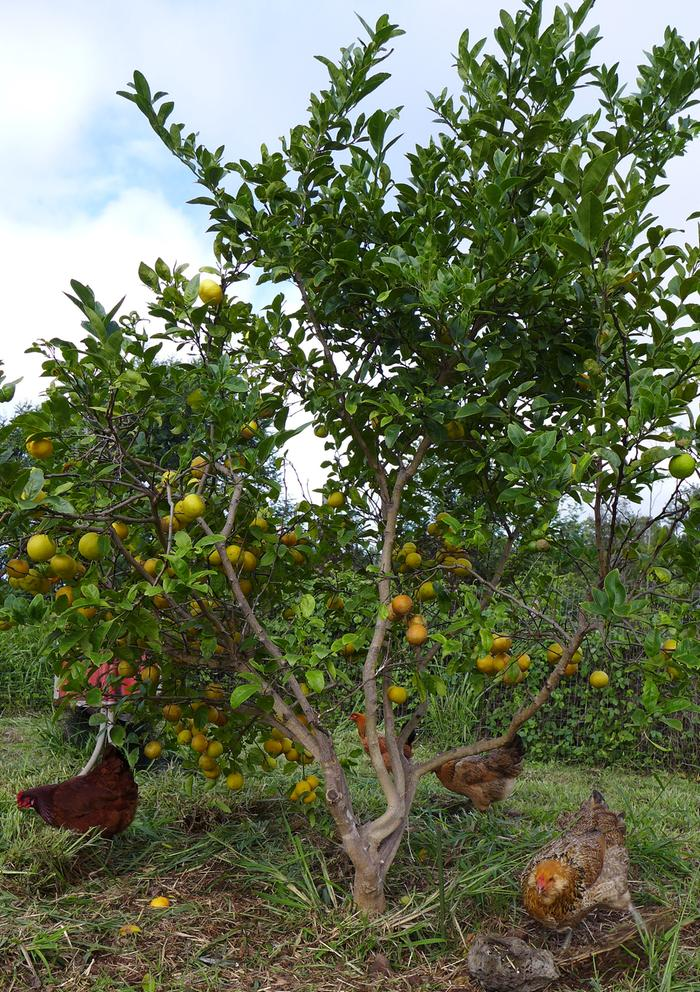 fruit tree chickens, Maui, by Loxley, StoryConnective.org (CC BY-SA 3.0 US)