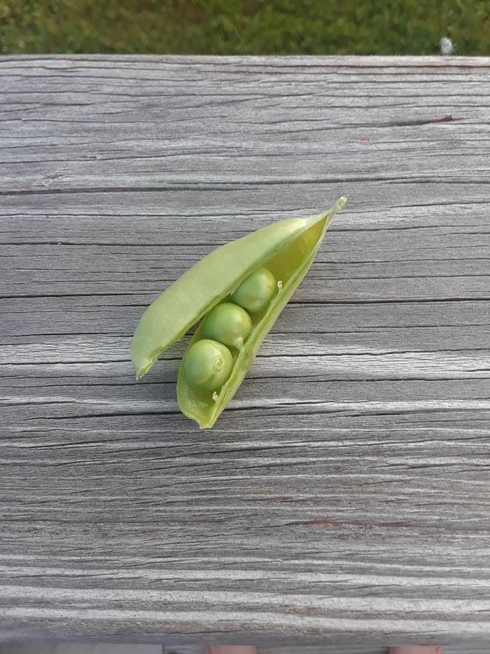 Three little peas - from our first garden