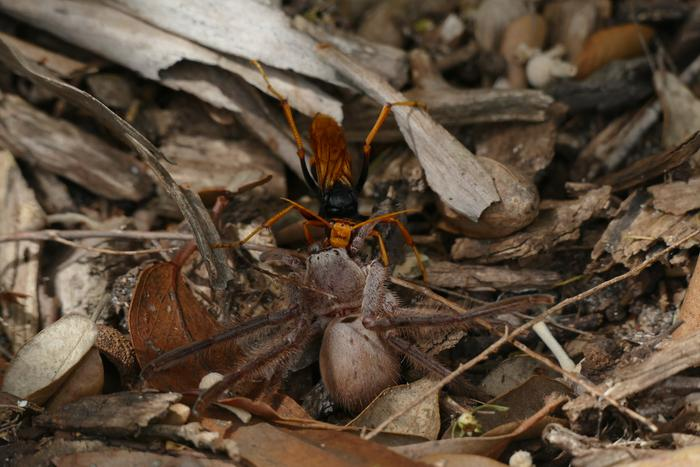 Australian spider wasp dragging prey