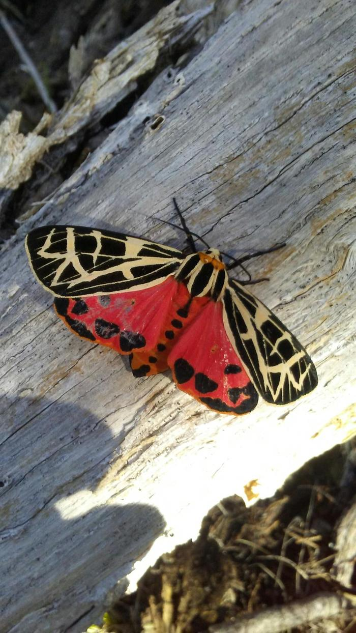 Parthenice Tiger Moth