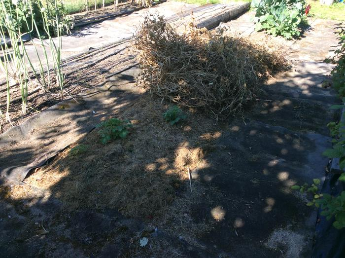Before mulching with pea vines. Grass clippings were already in place.